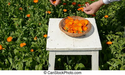 harvesting medical herbs calendula