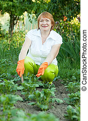 Mature woman working in field of potato