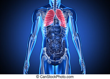 Digital blue human with highlighted lungs on dark blue...