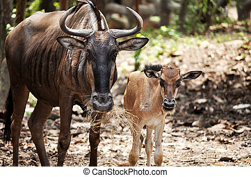 Wildebeest - Young Blue Wildebeest are born tawny brown, and...