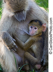Yellow baboon breast feeding - A high resolution image of a...