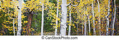 Panoramic of aspen trees - panoramic photo of aspen trees...