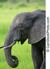 Elephant in Africa Safari - A high resolution image of an...