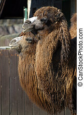 Two camels standing at the zoo