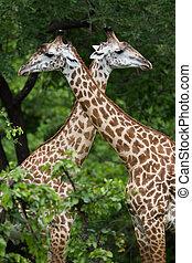 Giraffe in safari, Africa, Zambia - A high resolution image...