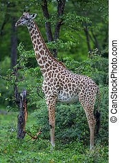 Giraffe in safari, Africa, Zambia - A high resolution image...