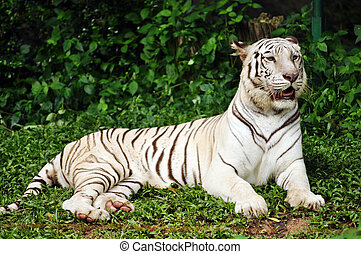 white bengal tiger - To date, the only known white tigers...