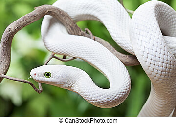 White Texas rat snake on a wooden branch - Texas rat snake...