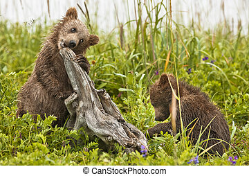 silly bear cubs - Bear cubs play with dead trees in Denali...
