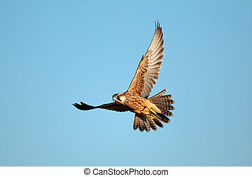 Lanner falcon in flight - Lanner falcon (Falco biarmicus in...