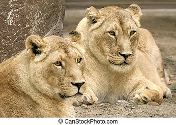 Two lions, both in sharp focus - Two proud lion siblings,...
