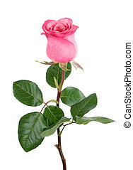 Gorgeous pink rose on white - Studio isolation of a delicate...
