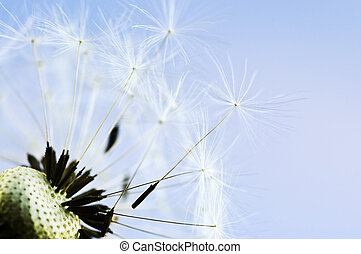 Dandelion - Macro of dandelion seeds on blue sky background