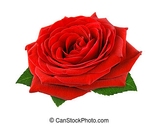 Gorgeous red rose on white