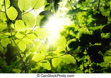 Foliage framing the sun - Fresh green leaves in a forest...