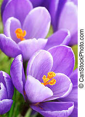 Purple crocuses closeup - Outdoor shot of two blossoming...