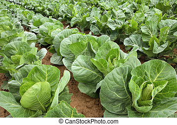 Rows of cabbage on a field - Rows of fresh cabbage plants on...