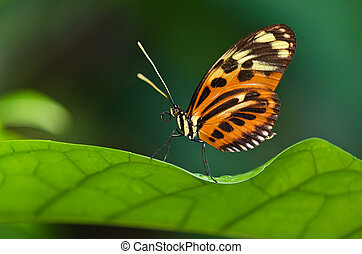 Tiger Longwing butterfly Heliconius ismenius perched on leaf...