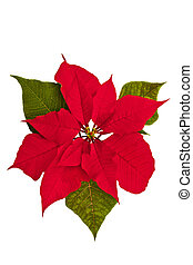 Star Shaped Christmas Flower - Isolated poinsettia against a...