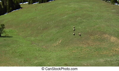 Aerial shot of animals running up lush hill in mountains