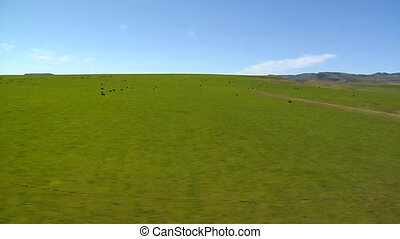 Aerial shot of cattle grazing in lush mountain meadow