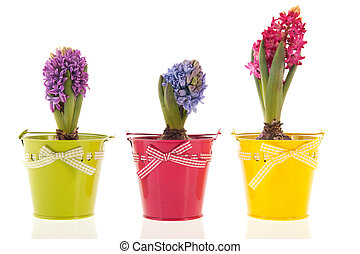 Colorful Hyacinths isolated over white background