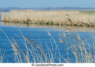 Reed in front of lake - Swaying reeds in front of a blue...
