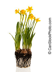 Yellow daffodils in spring with bulbs earth and roots