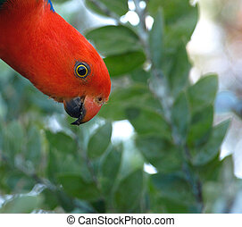 Cautious king parrot - Australian king parrot watching...