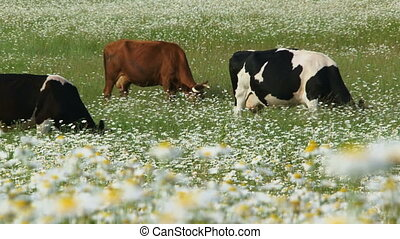 Herd of cattle grassing in a field of daisies
