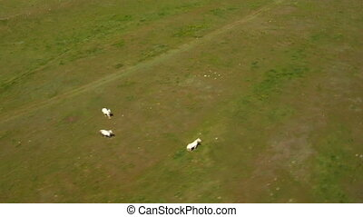 Aerial shot of three white horse in grassy green field