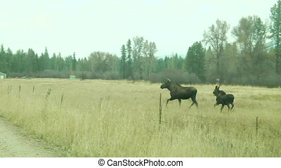 to large moose cross jump fence and cross road