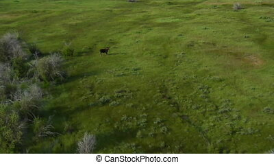 moose in Greenfield shot from a helicopter