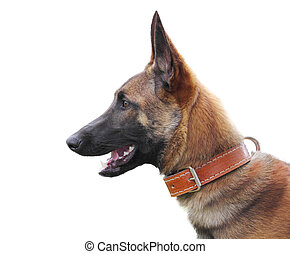 Belgian shepherd malinois isolated over white