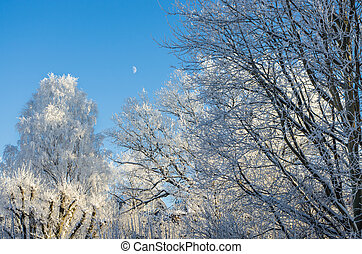 Snowy trees with moon - Snowy trees against clear blue sky...
