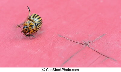 potato bug red background