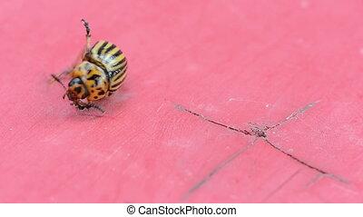 potato bug red background - macro of potato beetle bug upset...