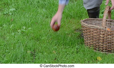hand mushrooms basket - hand take orange red cap mushrooms...
