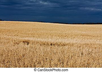 Oat Field in the Sun - A sunny oat field ready for harvest