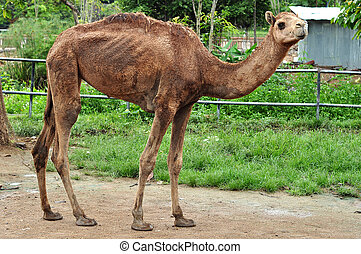 dromedary camel - The dromedary camel is the largest member...