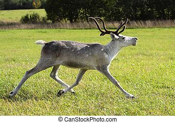 Rangifer tarandus - Female reindeer (Rangifer tarandus)...