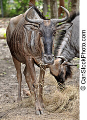 wildebeest - Due to their migratory ways, the wildebeest do...