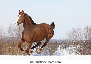 Hannover horse - Beautiful hannover mare on snowy meadow