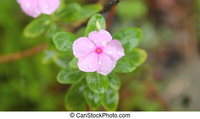 Impatiens In Rain 2 - Rain droplets dripping down on...