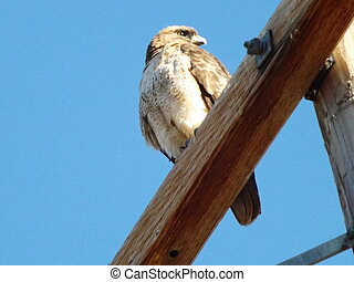 Red Tail Hawk On An Electric Pole - A Red Tail Hawk On An...