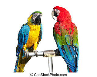 two beautiful bright colored macaws parrots isolated over...