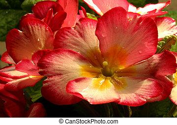 Primrose Primula macro