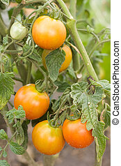 Unripe tomatoes growing in garden