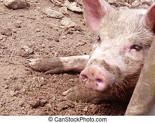 Muddy Pink Pig lying on the mud