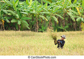 Man harvesting rice - Farmer harvesting rice in field,...